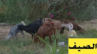 روتيني مع الماعز في الصيف🐐