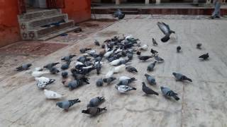 Lovely Pigeon Birds at Bageswori Temple