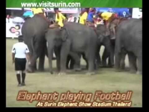 ช้างเตะฟุตบอล Elephant playing football surin thailand