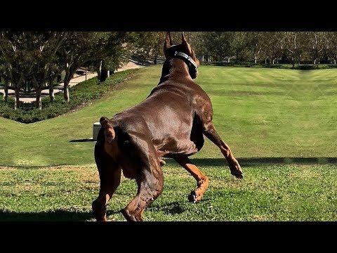 Xxx Mp4 BEST OF DOBERMAN THE SUPER INTELLIGENT DOG 3gp Sex