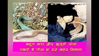 A BIG COBRA SNAKE RESCUED FROM THE WALL INSIDE THE STONES AND RELEASED