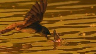 Birds Hunt Mayflies for their Chicks   BBC Earth