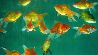 Aquarium Fish | How It's Made
