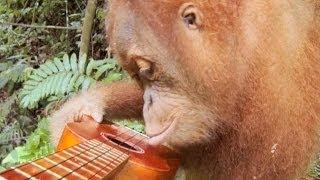 GoPro: Orangutan Plays A Ukulele