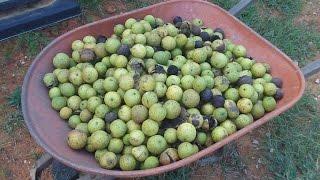 Walnuts - Harvesting