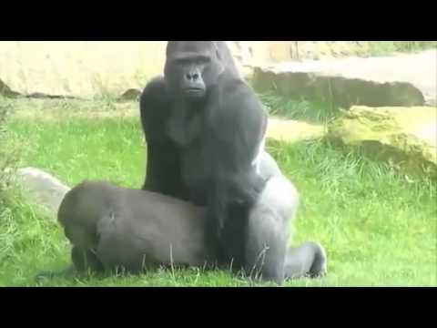 video gorila kawin mirip manusia lucu banget bikin ngakak wkwkwk