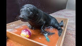 Lachtaní mládě si užívá koupání v bazénku