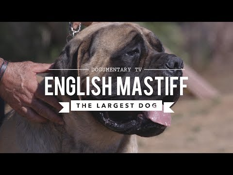 Xxx Mp4 ALL ABOUT THE ENGLISH MASTIFF THE WORLD S LARGEST DOG 3gp Sex
