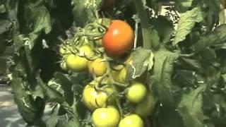 فیلم آموزشی کشت گوجه در گلخانه