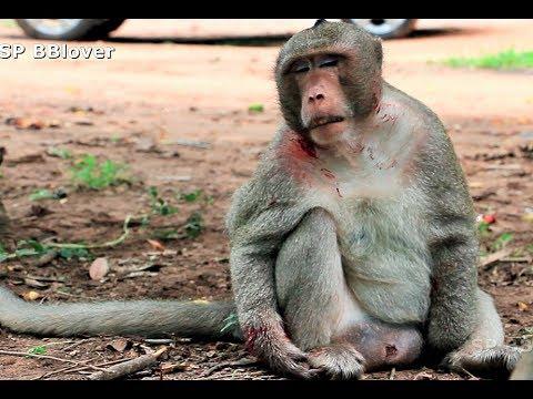 Brutus King Monkey In Amari Group Got Injure After Fighting Amber Group