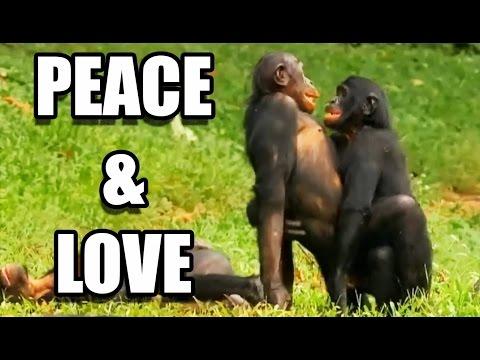 Sexe : les bonobos ont-ils tout compris ? - ZAPPING SAUVAGE