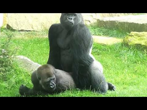 Xxx Mp4 Sexe Comment Font Les Gorilles ZAPPING SAUVAGE 3gp Sex