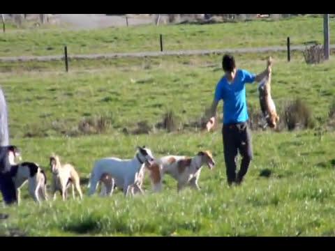 Caceria de liebres de osorno galgeros cabrero