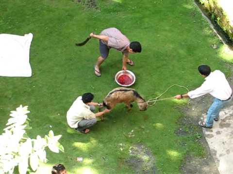 Goat killing in Nepal