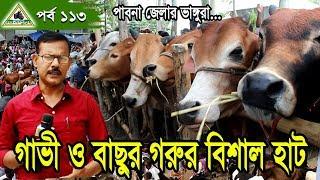 113 Cow Hat, Cow Market ফ্রিজিয়ান,শাহিওয়াল,সিন্ধি গাভী গরু ও বকনা বাছুর গরুর বিশাল হাট- পাবনা ।