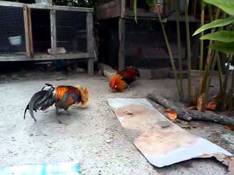 ayam hutan bru tmbuh taji