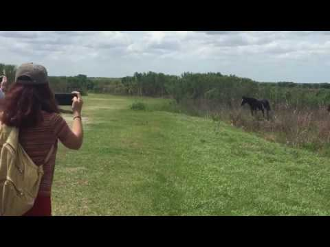 Xxx Mp4 Horse Stomps On Alligator Only In Florida 3gp Sex