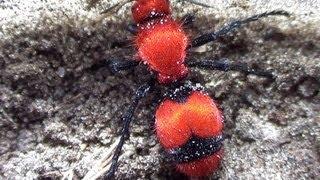 Giant Velvet Ant