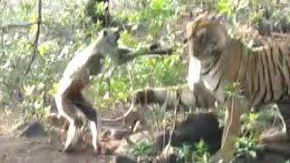 Monkey and tiger Funny Fight | Ranthambore Tiger Reserve | Exclusive Video