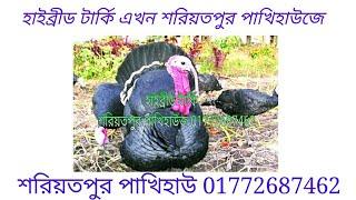 হাইব্রীড টার্কি এখন শরিয়তপুর পাখিহাউজে 01772687462