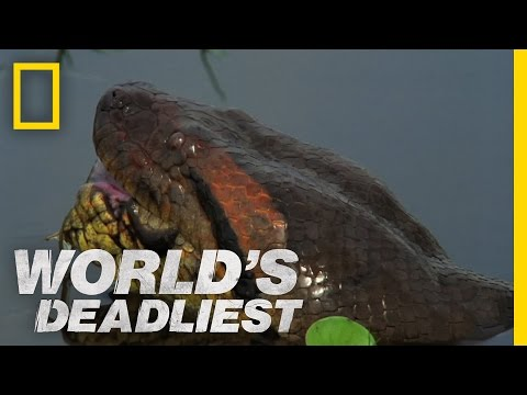 World s Deadliest Anaconda Devours World s Largest Rodent