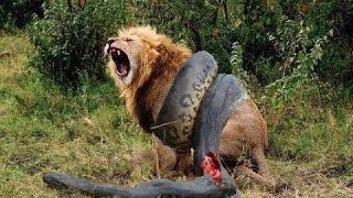 Giant Anaconda vs Felidae 2016|Python vs Lion 2016|Anaconda vs Cat 2016|Anaconda vs Jaguar 2016