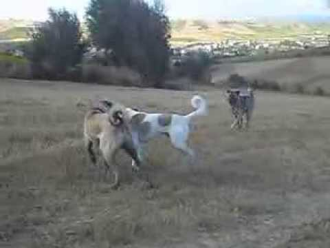 Karabey Babazula ve Torsan different colors kangal dogs