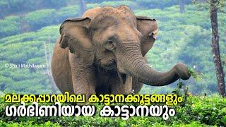 Elephant Milk Feeding at Malakkapparai Tea Estate