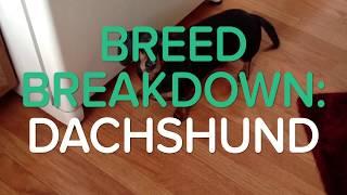 BREED BREAKDOWN: DACHSHUND aka The Weiner Dog