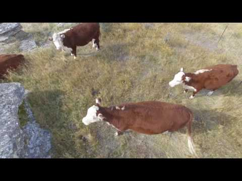 Xxx Mp4 Cow Muster Raw Footage 3gp Sex