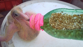 How to hand feed a baby pigeon 2