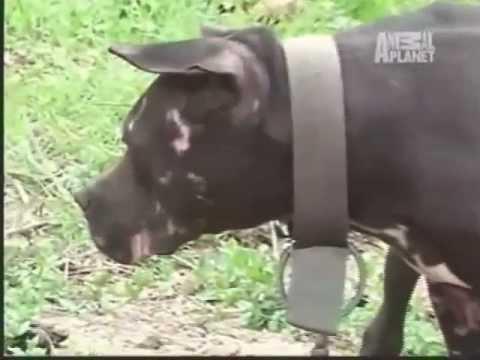Pit Bulls Brigas de cães