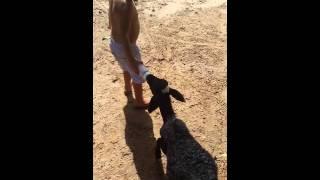 Criança dando de mamar a dois bode!