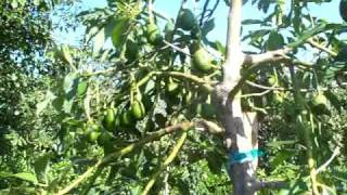 hass avocado trees