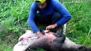 Berburu Babi Hutan Episode Hasil Buruan