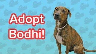 Adopt Bodhi! // Hound Mix // Adoptable Featurette