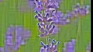 lavender lavender flowers purple violet 67234