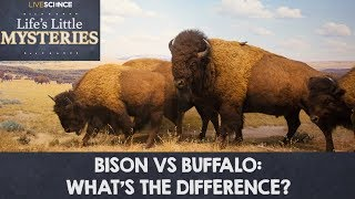 Bison vs. Buffalo: What