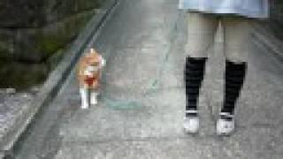 猫のお散歩中,わんちゃん遭遇!(Cat And Dog Meet, Out Walking!)
