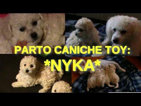 PARTO DE MI CANICHE TOY NYKA