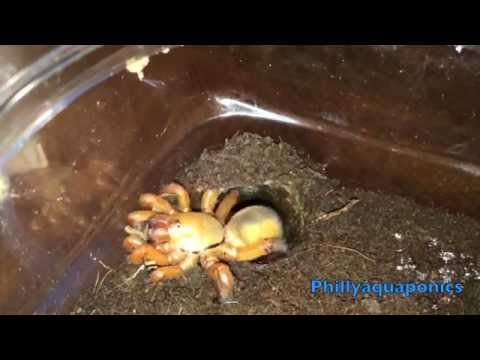 View From Inside the Burrow: Trapdoor Spider Feeding Video Compilation