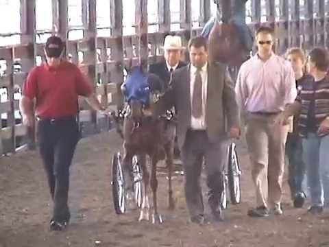 2003 Hackney Pony Stallion/Gelding World Championship & 1991 CNE Hackney Pony Stake