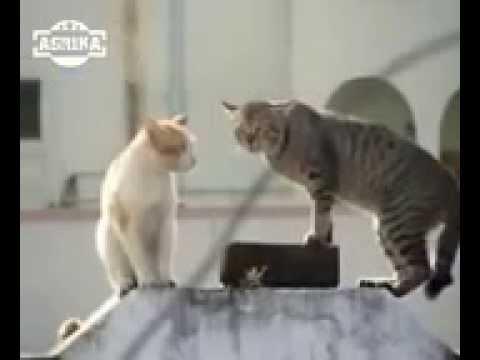 video kucing lucu banget bahasa jawa