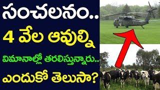 Qatar Businessman Plans To Airlift 4000 cows From Australia | Soudi Arabia | Telugu NRIs | Taja30