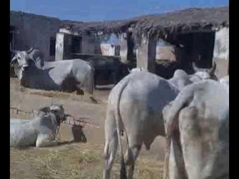 Xxx Mp4 Sindhi Ox Of Lanwari Form Badin 3gp 3gp Sex