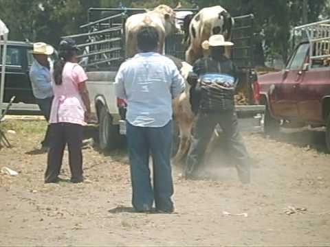 Manejo ganado bovino