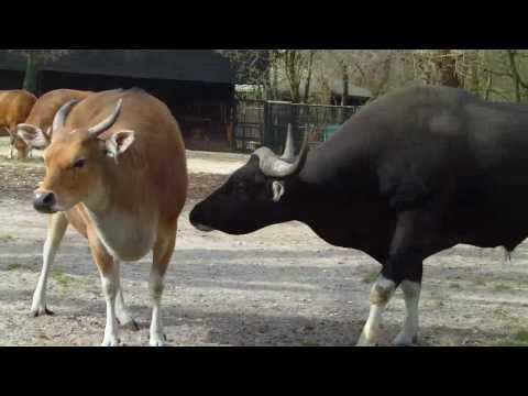 Banteng Bull and Cow Tierpark Hellabrunn Munich Zoo