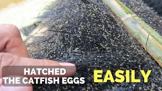 How to Hatch Catfish Eggs Easily