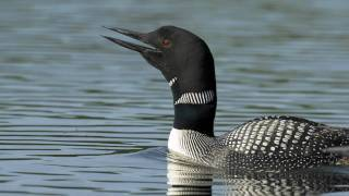 Voices: Common Loon