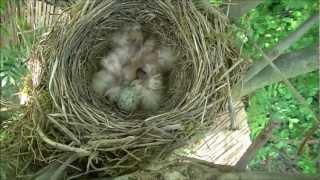 Bird's-nest - Nid d'oiseaux (Naissance oisillons)